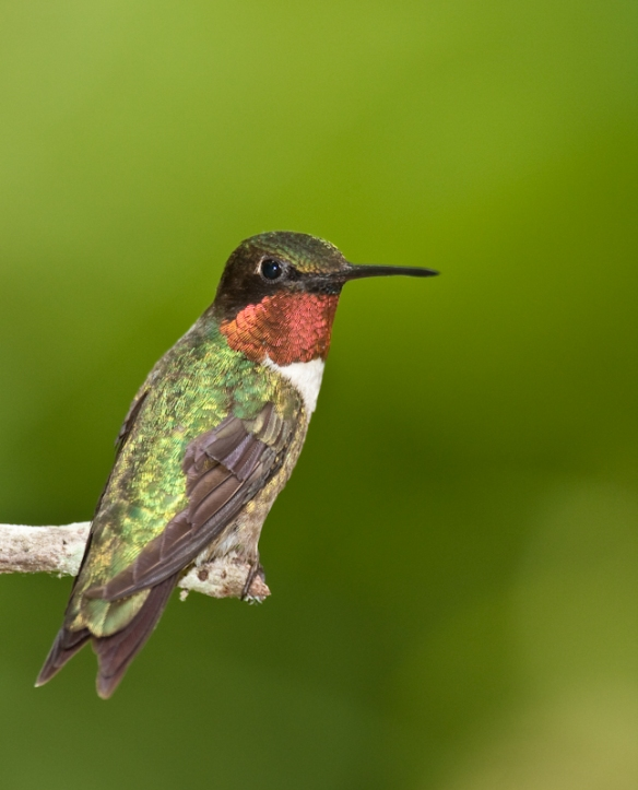 Ruby-throated Hummingbird-11