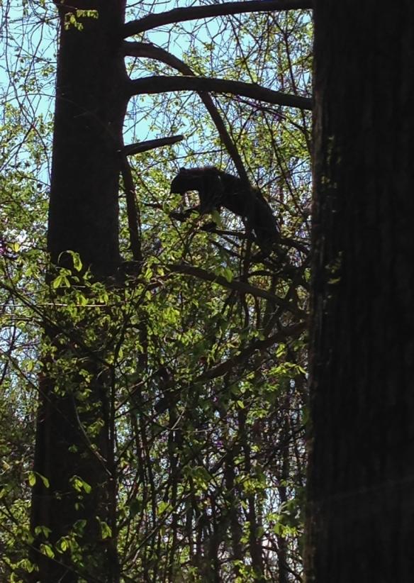 Younfg Black Bear eating Supplejack leaves