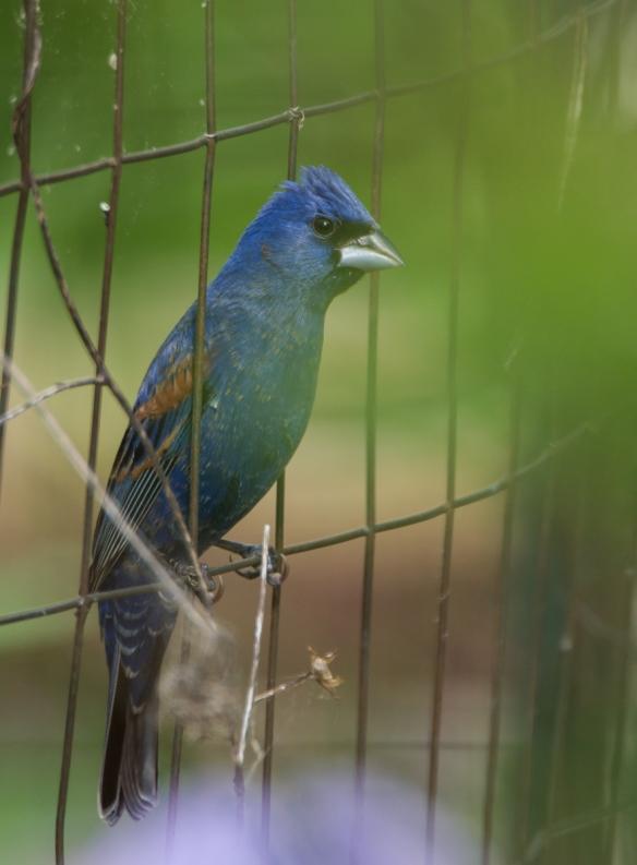 Blue Grosbeak behind garden fence