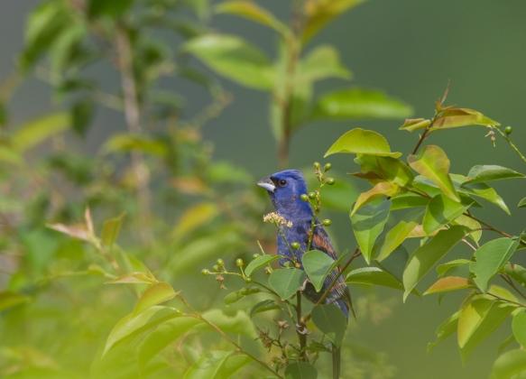 Blue Grosbeak in cherry tree in garden