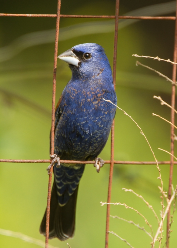 Blue Grosbeak on garden fence 1