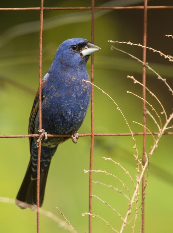 Blue Grosbeak on garden fence
