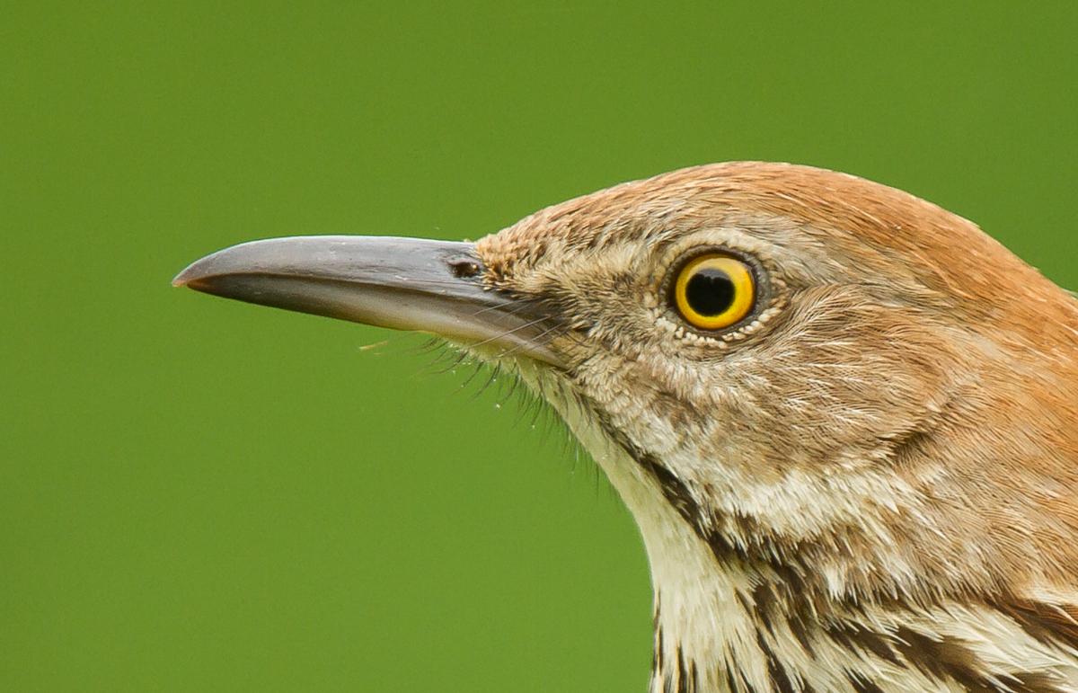 Garden Birds – Brown Thrasher   Roads End Naturalist