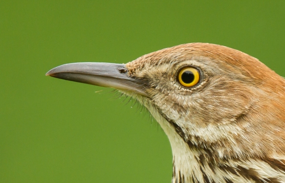 Brown Thrasher eye close up