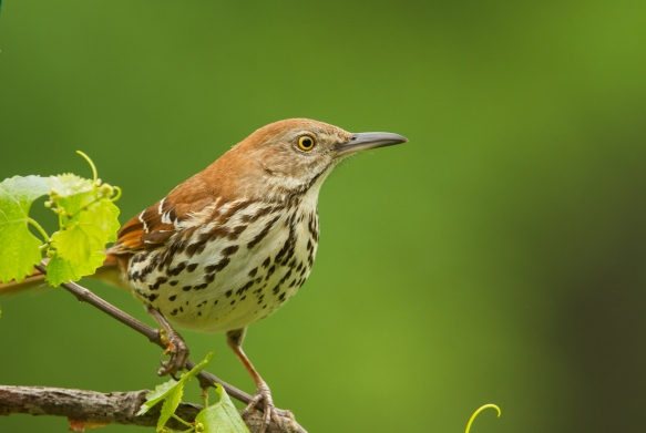 Brown Thrasher near suet cage