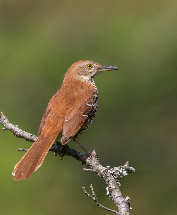 Brown Thrasher on branch back view