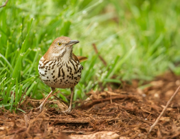 Brown Thrasher on ground