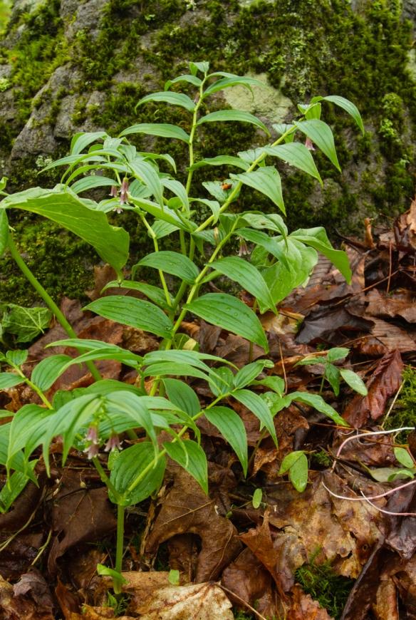 rose twisted stalk plant