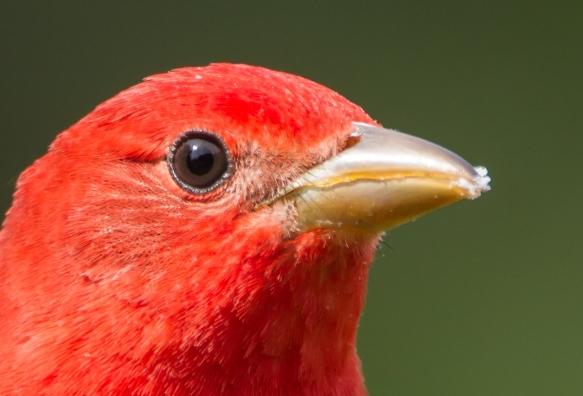 Summer Tanager close up of head