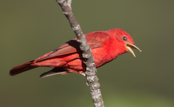 Summer Tanager male calling
