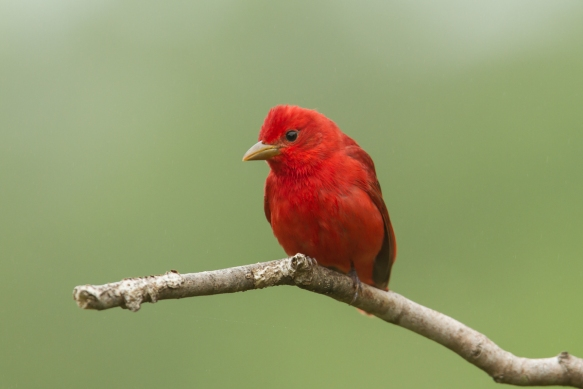 Summer Tanager on limb