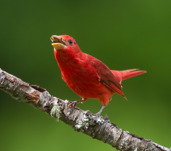 Summer Tanager that just caught a bee on the wing