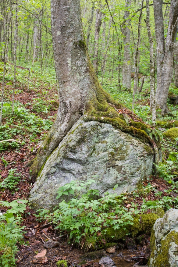 Tree on boulder