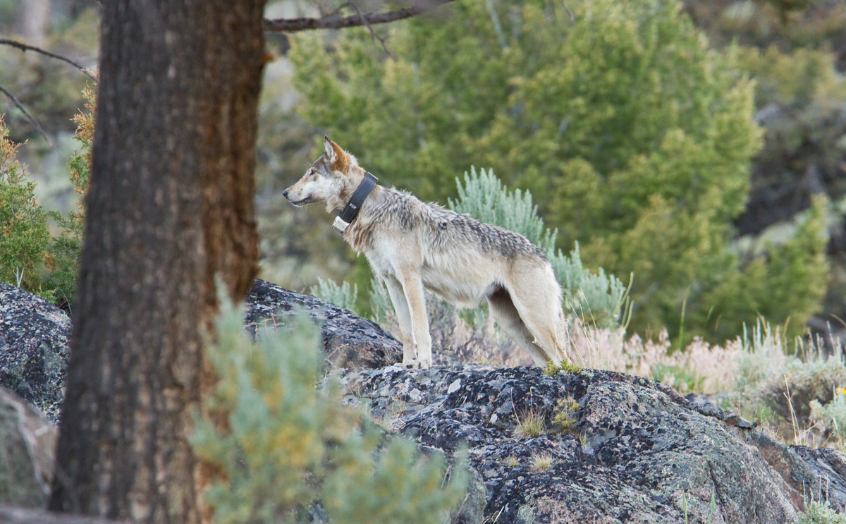 gray wolf | Roads End Naturalist