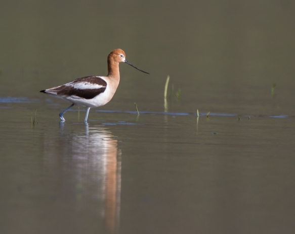 American Avocet and reflection