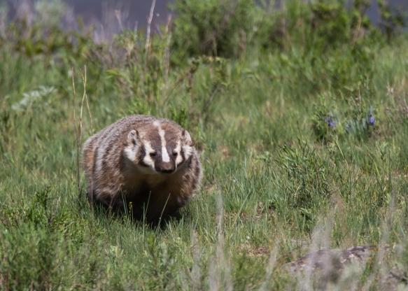 Badger at Slough Creek 1