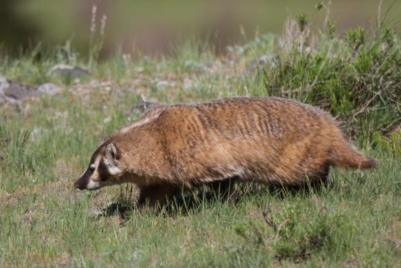 Badger at Slough Creek 3