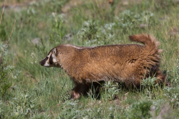Badger at Slough Creek running with tail up