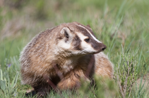 Badger at Slough Creek