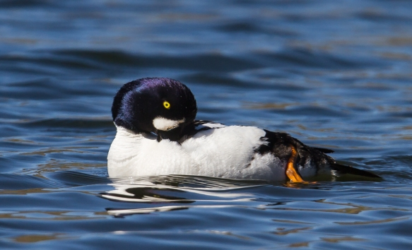 Barrow's Goldeneye male 1