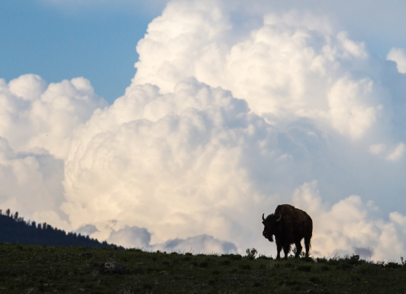 Bison and approaching storm clouds