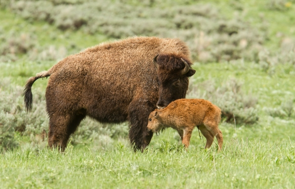 bison and newborn calf 2