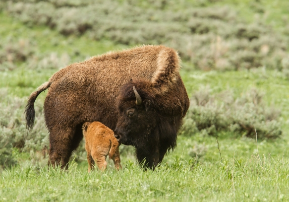 bison and newborn calf 3