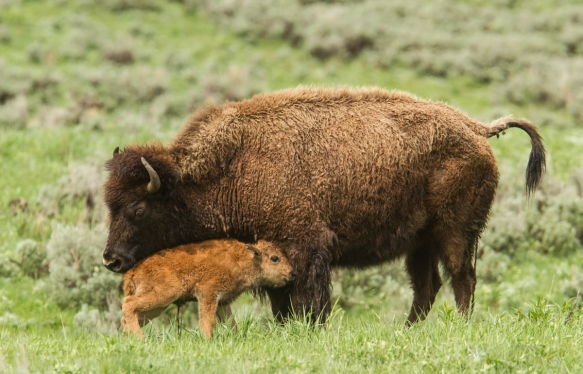 bison and newborn calf 4