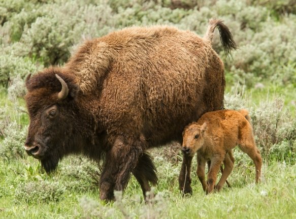 Bison and newborn heading toward the rest of the herd