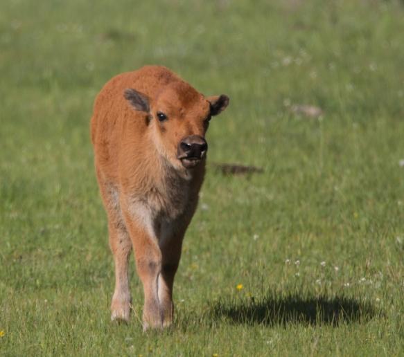 Bison calf 1