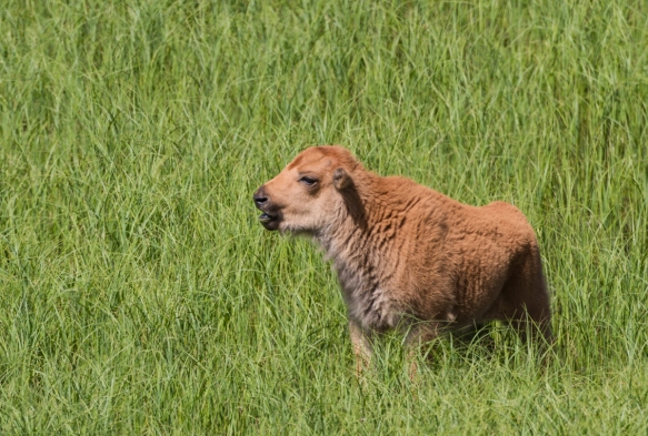 Bison calf in grass