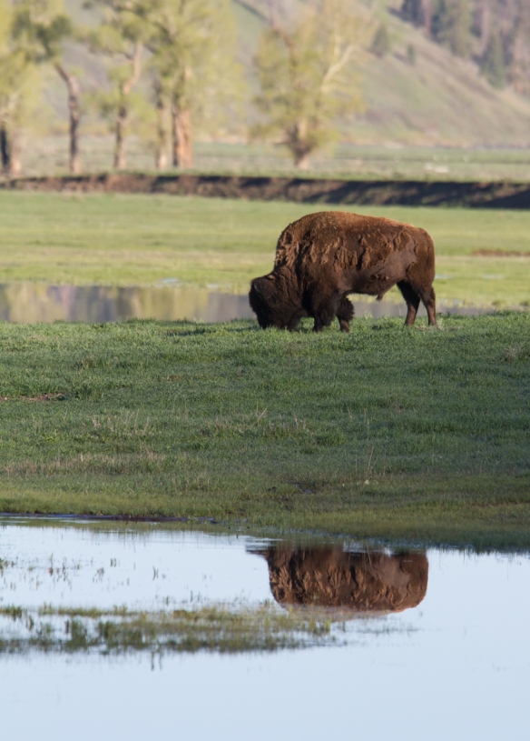 Bison reflection