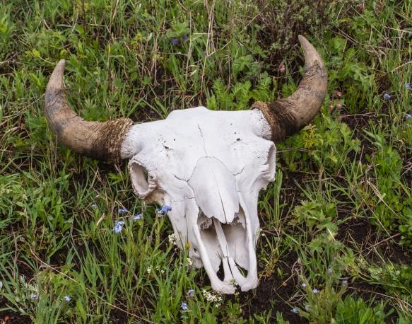 bison skull 1