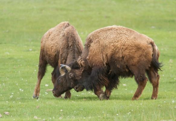 bison sparring