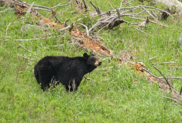 Black Bear mom
