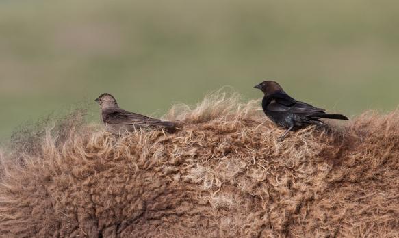 Brown-headed Cowbirds on Bison back