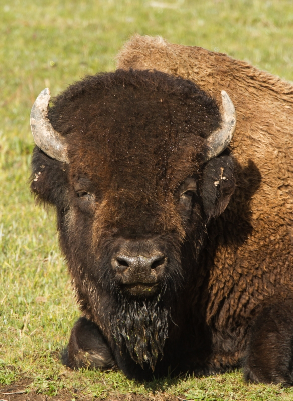 Bull bison chewing cud 1
