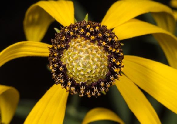 Coneflower showing stamens ripening