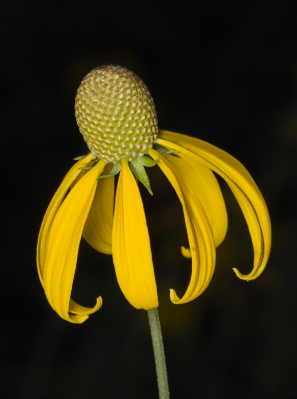 Coneflower single