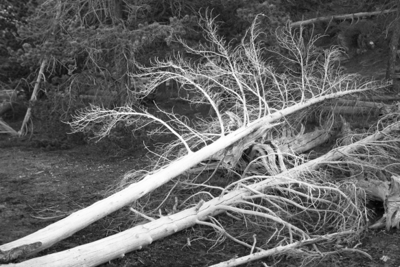 downed trees in geyser basin