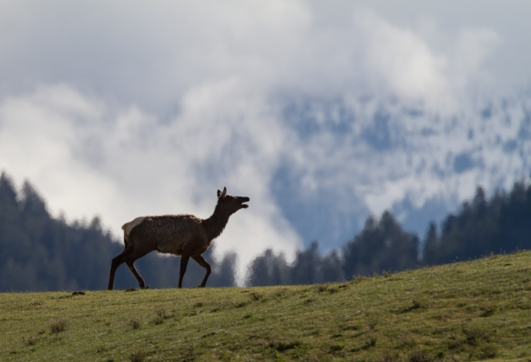 Elk on horizon