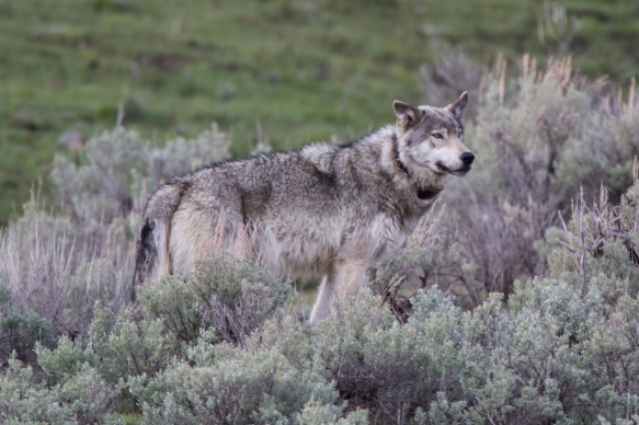Gray wolf male 1