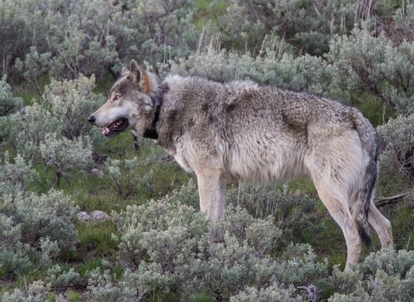 gray wolf male 3