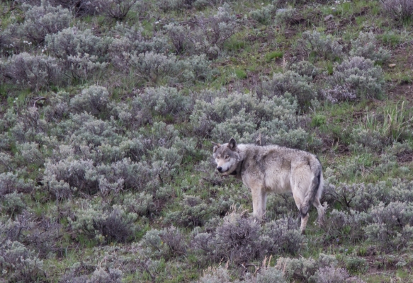 Gray wolf male