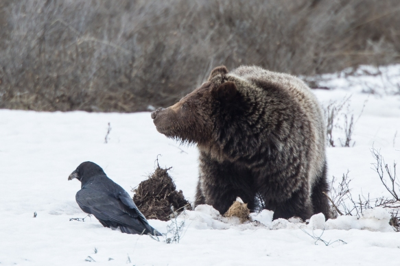 Grizzly and Raven