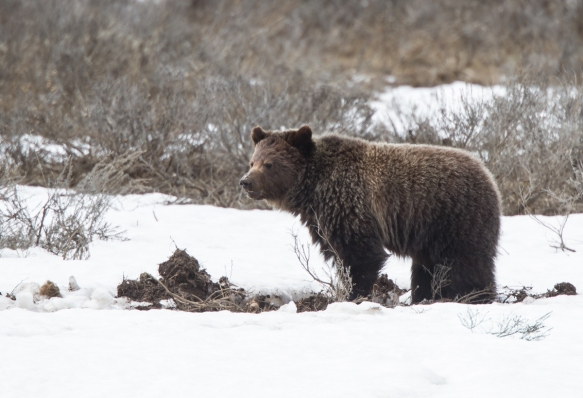 Grizzly in Hayden Valley 8