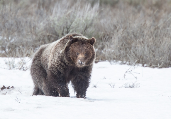Grizzly in Hayden Valley with snow on nose