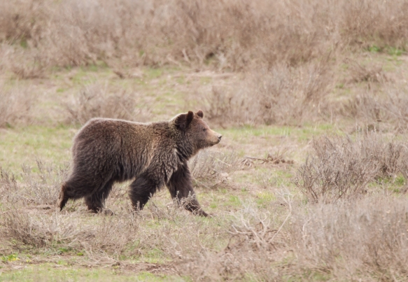Grizzly looking at photographer