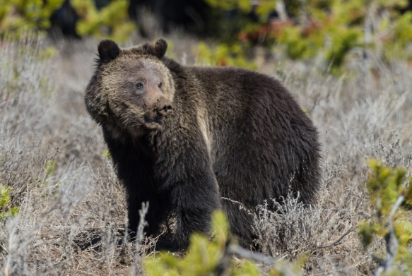 Grizzly near Mary Bay 1