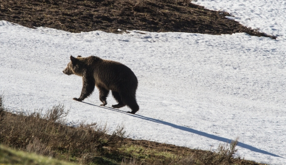 Grizzly on snow with shadow